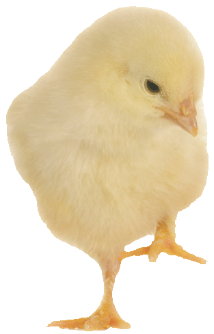 Chick-1-png-opt