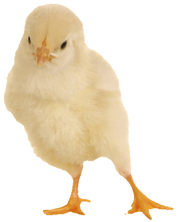 Chick-2-png-opt